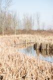 Schilfe im Sumpf Stockbilder