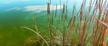Schilfe im Teich stockfoto
