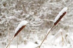Schilfe mit einer Kappe bedeckt durch Schnee Lizenzfreie Stockfotografie