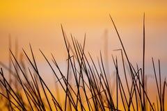 Schilfe am Sonnenaufgang Lizenzfreies Stockbild