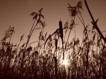 Schilfe am Sonnenaufgang Sepia Stockfotos