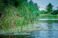 Schilfe und gelbe Seerosen Sumpfige Bank des Flusses Lizenzfreie Stockfotos