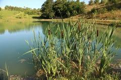 Schilfe wachsen auf dem See Stockfotos