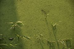 Schilfe wachsen auf dem See, der mit Entengrütze festgezogen wird stockbild