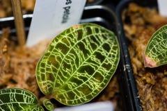 Schillernde Blätter mit glänzenden Adern des Goldsilbers Stockfoto