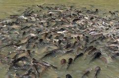 Schillernde Haifisch Fische Lizenzfreies Stockfoto