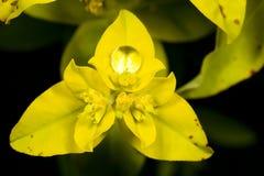 Schillingii d'euphorbe Image stock