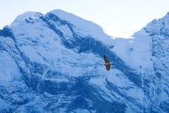 Schilthorn Hawk. Endangered hawk in Switzerland flying through snow covered mountains Stock Photos