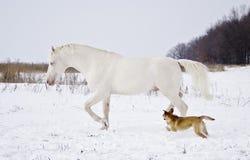 Schimmel läuft in das Schneefeld mit einem kleinen Hund Stockbilder