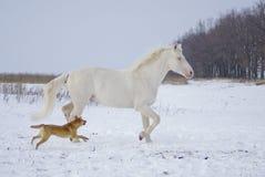 Schimmel läuft in das Schneefeld mit einem Spaßhund Stockfoto