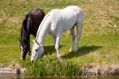 Schimmel und dunkles Pferd, die zusammen weiden lassen Lizenzfreies Stockfoto