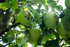 Schimmelbesmetting van appelen stock afbeeldingen