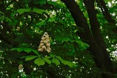 Schimmelskastanienblume und frische grüne Blätter - Aesculus hippocastanum Stockbilder