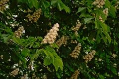 Schimmelskastanienblumen und frische grüne Blätter - Aesculus hippocastanum Stockbild