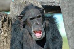 schimpans Royaltyfri Fotografi