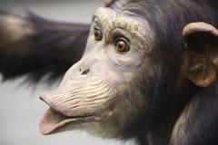 schimpans 2 Arkivfoto