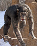 schimpans Arkivbild