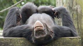 Schimpans Royaltyfria Foton