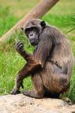 Schimpans. arkivbilder