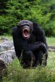 Schimpans arkivfoto