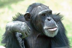 schimpans Arkivbilder