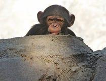 schimpans Royaltyfri Bild