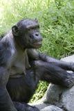 schimpans 5 Fotografering för Bildbyråer