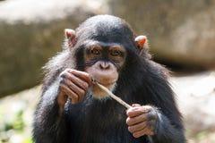 schimpans Arkivfoton