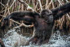 Schimpans i vatten Mannen av en schimpans kör på vatten och plaskar med vatten Royaltyfri Foto