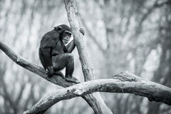 Schimpans IX Arkivbilder