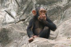 schimpans little Arkivfoto