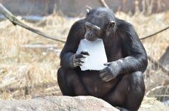 Schimpans med is Fotografering för Bildbyråer