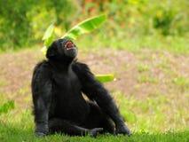 Schimpans med den öppna munnen Fotografering för Bildbyråer