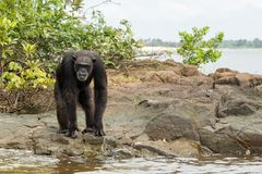 Schimpans på vattenkanten Arkivfoto