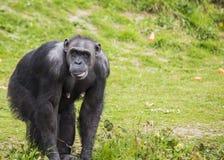 Schimpans (pannagrottmänniskor) Arkivfoto