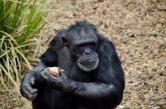 Schimpans som äter en sötpotatis fotografering för bildbyråer
