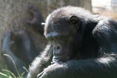 schimpans som ser ner royaltyfri fotografi