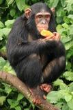 schimpans uganda Royaltyfri Fotografi