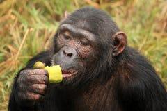 schimpans uganda Arkivfoto