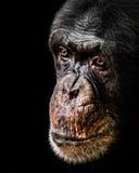 Schimpans XX royaltyfri foto