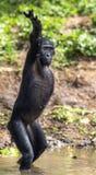SchimpansBonoboanseende på henne ben och hand upp På ett kort avstånd slut upp arkivbilder