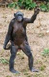 SchimpansBonobomoder med sten- och barnanseende på henne ben och hand arkivfoton