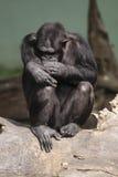 schimpanscommon royaltyfri bild