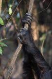 Schimpanse übergibt das Halten auf Rebe Lizenzfreie Stockfotografie