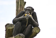 Schimpanse Lizenzfreie Stockbilder