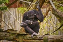Schimpanse Lizenzfreie Stockfotos