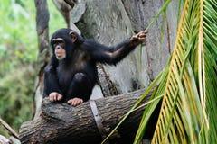 Schimpanse Stockfotos