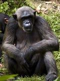Schimpanse Stockfotografie