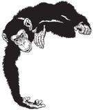 schimpanse Stockbilder