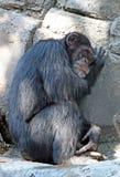 schimpanse Lizenzfreie Stockfotografie